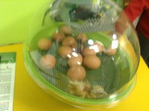 chicks 004